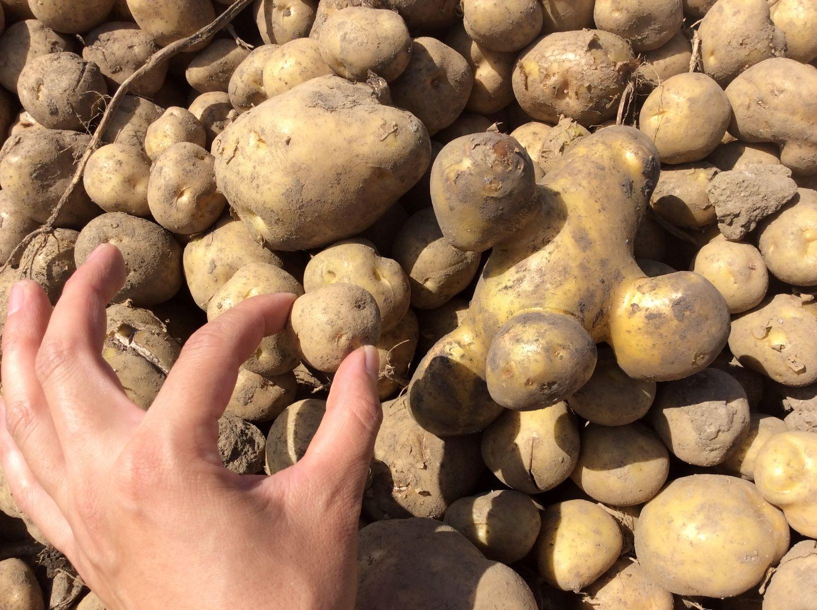 【ライブ配信】オンライン収穫体験🎶〜十勝のメークイン10kgお届け!